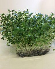 micro-jardin brassicae