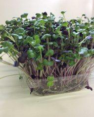 micro-jardin radis mixte