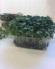 micro-jardin_brocoli_profil