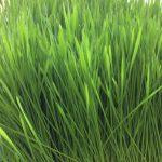 plateau d'herbe de blé pour jus 10×21